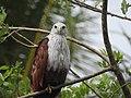 Brahminy kite (Haliastur indus)കൃഷ്ണപ്പരുന്ത് 5.jpg