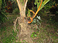 Branched coconut trunk (1103900397).jpg