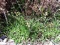 Brassica tournefortii Habitus 2010-4-02 SierraMadrona.jpg