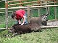 Brazilian tapir (Tapirus terrestris) - geograph.org.uk - 883146.jpg