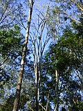 Bromélia no alto de árvore 2.jpg