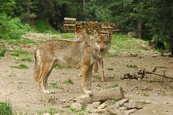 Brown Canis lupus.jpg