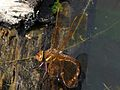 Brown Hawker ovipositing 1.jpg