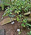 Brunfelsia nitida Palmengarten Frankfurt (Main).jpg