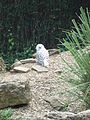 Bubo scandiacus -Birdland Park and Gardens, Bourton-on-the-Water, England-8a.jpg