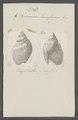 Buccinum laevissimum - - Print - Iconographia Zoologica - Special Collections University of Amsterdam - UBAINV0274 085 07 0003.tif