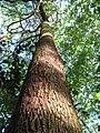 Buchenavia tetraphylla - Flickr - Tarciso Leão (7).jpg