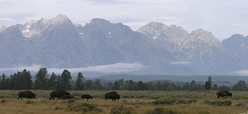 File:Buffalo Roaming.jpg