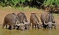 Buffaloes (Syncerus caffer) (6587932559).jpg