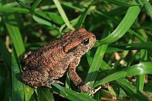 Bufo bufo on grass2.JPG