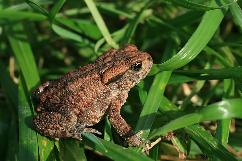 File:Bufo bufo on grass2.JPG