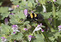 Bumble bee feeding on Lamium.jpg