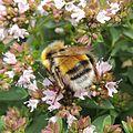 Bumblebee (Male Bombus lucorum?), Sandy, Bedfordshire (9383776508).jpg