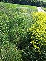 Bunias orientalis + Adonis aestivalis + Anthemis austriaca + Fumaria officinalis + Consolida regalis sl4.jpg