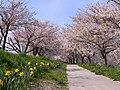 Bunsui Sakura 001 April2020.jpg