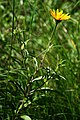 Buphthalmum salicifolium 1.jpg