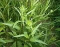 Buphthalmum salicifolium 2016-05-31 2149.jpg