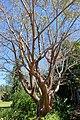 Bursera simaruba - Marie Selby Botanical Gardens - Sarasota, Florida - DSC01339.jpg