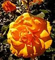 Butchart Gardens - Victoria, British Columbia, Canada (29184837061).jpg