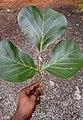 Butea monosperma, flame-of-the-forest, bastard teak, ചമത. Leaf .jpg