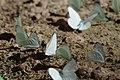 Butterflys (5898877447).jpg