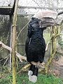 Bycanistes brevis -Tropical Birdland, Leicestershire, England-8.jpg