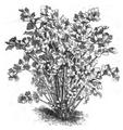 Céleri à couper Vilmorin-Andrieux 1883.png