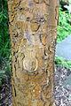 CBN Podocarpus gaussenii 2015-07-01 CP 3.jpg