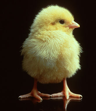 Broiler - A one-day-old chick.