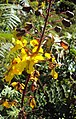 Caesalpinia mimosoides 01.JPG
