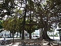 Cagliari Ficus trees 4.jpg