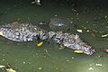 Caiman crocodilus in Barbados Wildlife Reserve 03.jpg