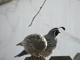 California quail - Image: Cal Quail Pair