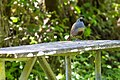 California Quail - 4-11-15 - Five Brooks Trail, Olema, CA (17736107081).jpg