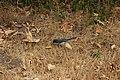 California Scrub Jay - Aphelocoma californica (42965987855).jpg