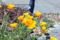 California poppy in San Francisco 4.JPG