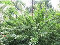 Calliandra Haematocephala - വാക 05.JPG