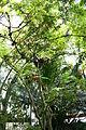 Calliandra haematocephala Trunk.jpg