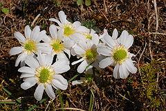 240px callianthemum anemonoides