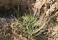 Calluna vulgaris - Heather 02.jpg