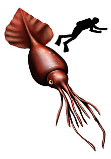 colossal squid wikipedia the free encyclopedia