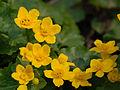 Caltha palustris 01.JPG
