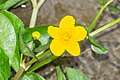 Caltha palustris in Avoriaz (9).jpg