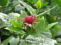 Calycanthus occidentalis - Flickr - peganum (4).jpg