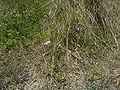 CalystegiaSoldanella-plant-kl.jpg