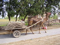 A camel harnessed to a cart loaded with branches and twigs