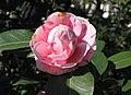 Camellia 'Dr Baltazar de Mello'.jpg
