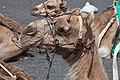 Camelo - Timanfaya - Lanzarote- Illas Canarias- Spain-T28.jpg
