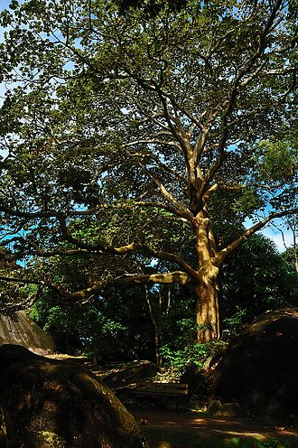 Sterculia apetala - On the bank of the Orinoco, Venezuela