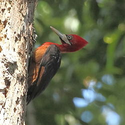 Campephilus rubricollis - Red-necked Woodpecker.JPG
